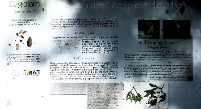 Bagolaro a orto botanico di pisa ilustrozione 1.jpg