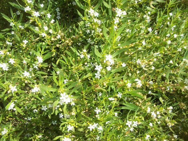 Myoporum Acuminatum.jpg