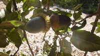 Quercus ithaburensis kdumim 04