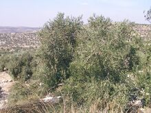 Olives the kung of shomron