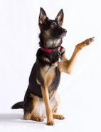 Schaeferhund