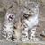 Dasnowleopard