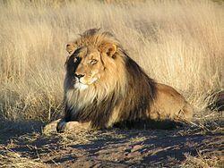 250px-.Lion en attente en Namibie.jpg