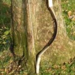 Hunnic Composite Bow