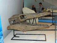 Tylosaurus skull