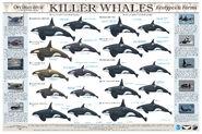 UG-Killer-Whale-Poster
