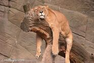 24538-Relaxing-Lion