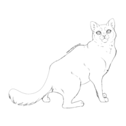 Solitaire - british shorthair 1