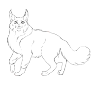 Guerrier - Main coon