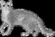 Hirondelle - American shorthair