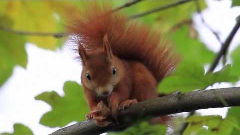 Cute Red Squirrel eats a nut (walnut)
