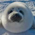 Sealy The Arctic Seal's avatar