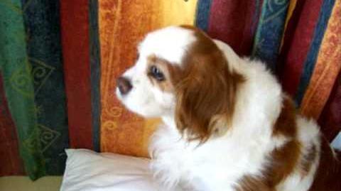 Canine Hypoglycemic Seizure