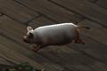 Piglet Companion.png