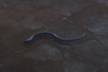 Snake (black) Companion.png