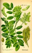 Illustration Astragalus glycyphyllos0