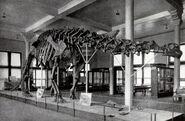 Sharp lull brontosaurus