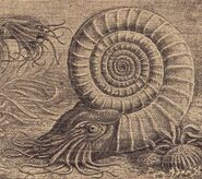 Ammonit2