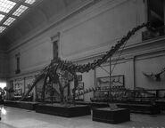 Diplodocus 1930s