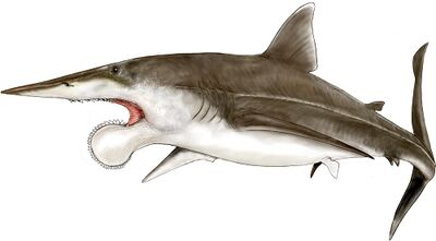 Helicoprion.jpg