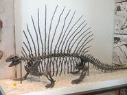 Edaphosaurus boanerges - AMNH - DSC06319