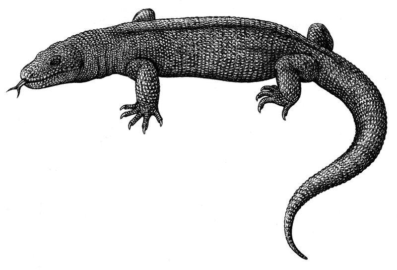 Polyglyphanodon
