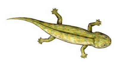 Discosauriscus.jpg