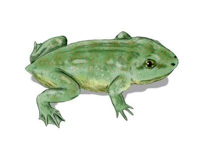 Triadobatrachus.jpg