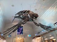 Dino Institute Tour Archelon Skeleton