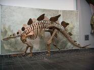 Frankfurt Stegosaurus Skeleton