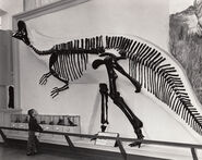 Corythosaurus skeleton late 60s