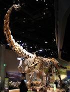 Perot Museum Alamosaurus and Tyrannosaurus