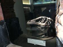 Dino Institute Tour Deinonychus Skull