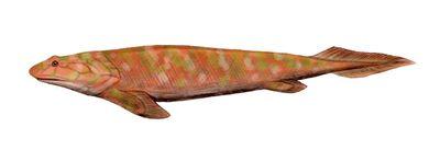 Panderichthys.jpg