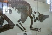 Saurolophus osborni holotype