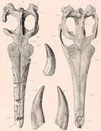 Metriorhynchus superciliosus