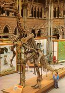 Iguanodon-Oxford-skeleton-703x1000