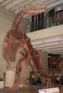 Muttaburrasaurus skel QM email