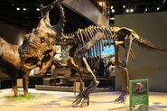 Perot Museum Pachyrhinosaurus