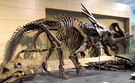 Styracosaurus body