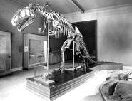 Carnegie Allosaurus