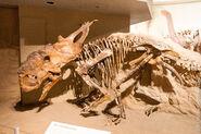 Pachyrhinosaurus lakustai Tyrrell