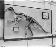 Edmontosaurus 1911