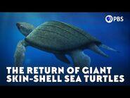 The Return of Giant Skin-Shell Sea Turtles