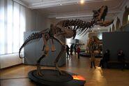 Carnotaurus skeleton in Bonn