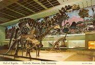 Peabody-Apatosaurus-skeleton-1000x690