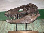 Restaurantosaurus Gorgosaurus Skull