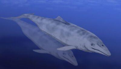Aetiocetus.jpg