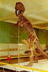 Tyrannosaurus-AMNH-skeleton-postcard1-660x10001