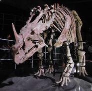 Sinoceratops skeleton